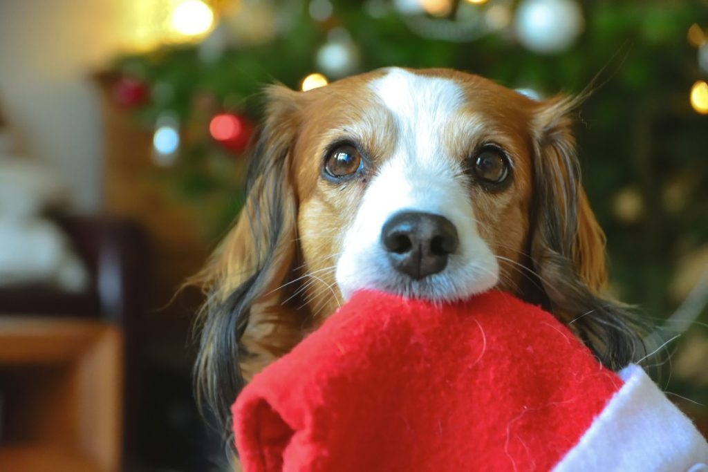 cute dog holding a santa hat