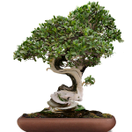 twisted bonsai tree with green leaves