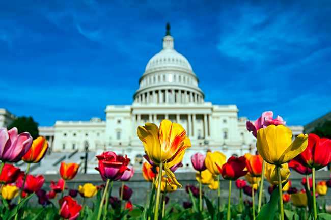 tulips and the US Capitol Building