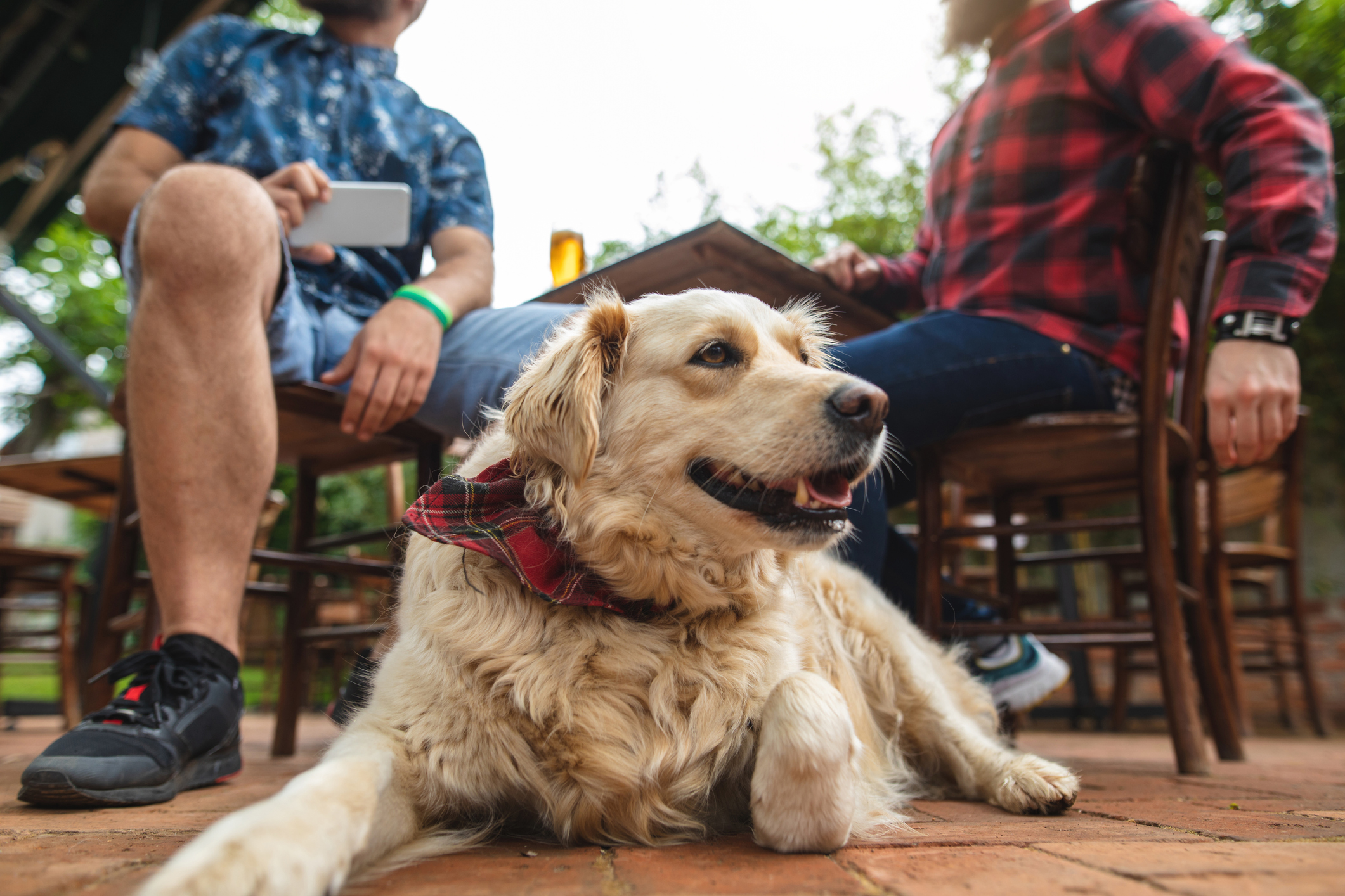 A dog laying down at an outdoor bar as his owners drink beers.