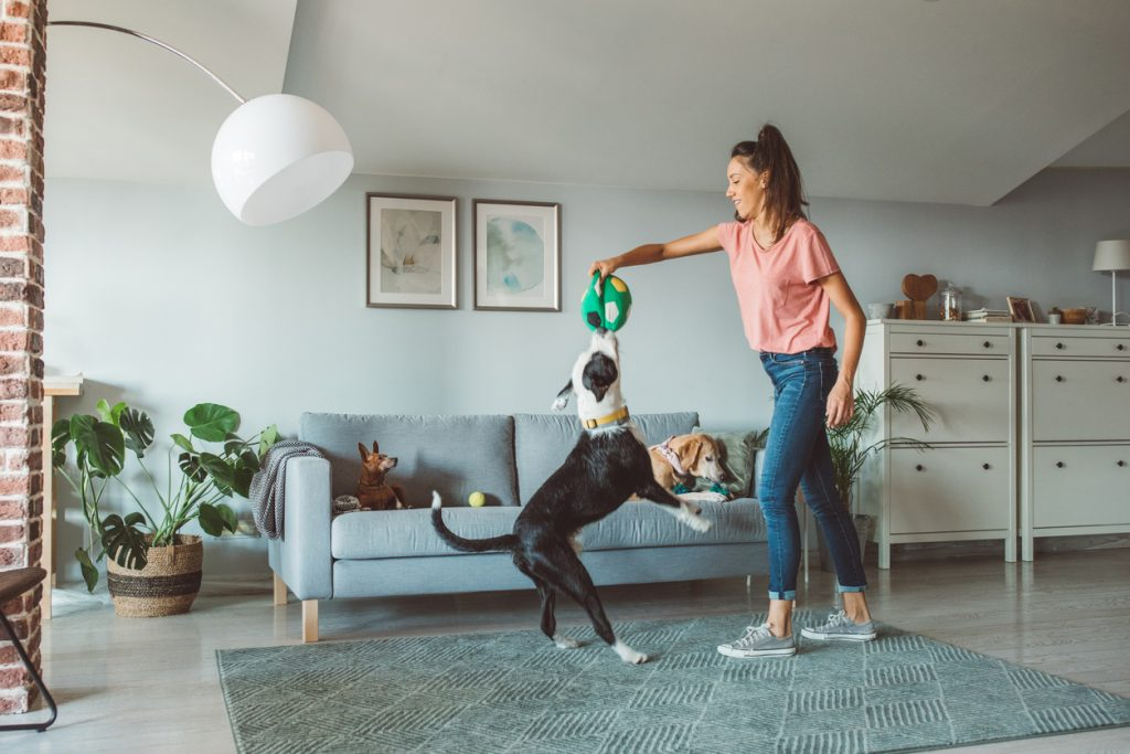 A dog owner playing tug-of-war with a ball with her dog inside her apartment.