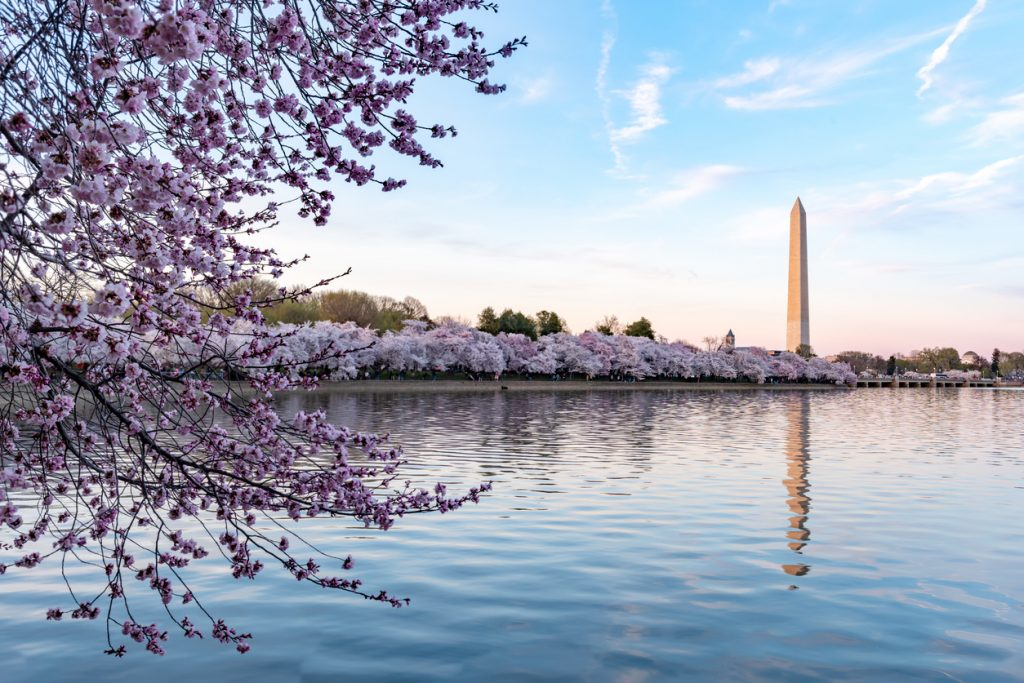 From Japan to America: Exploring Cherry Blossom Traditions