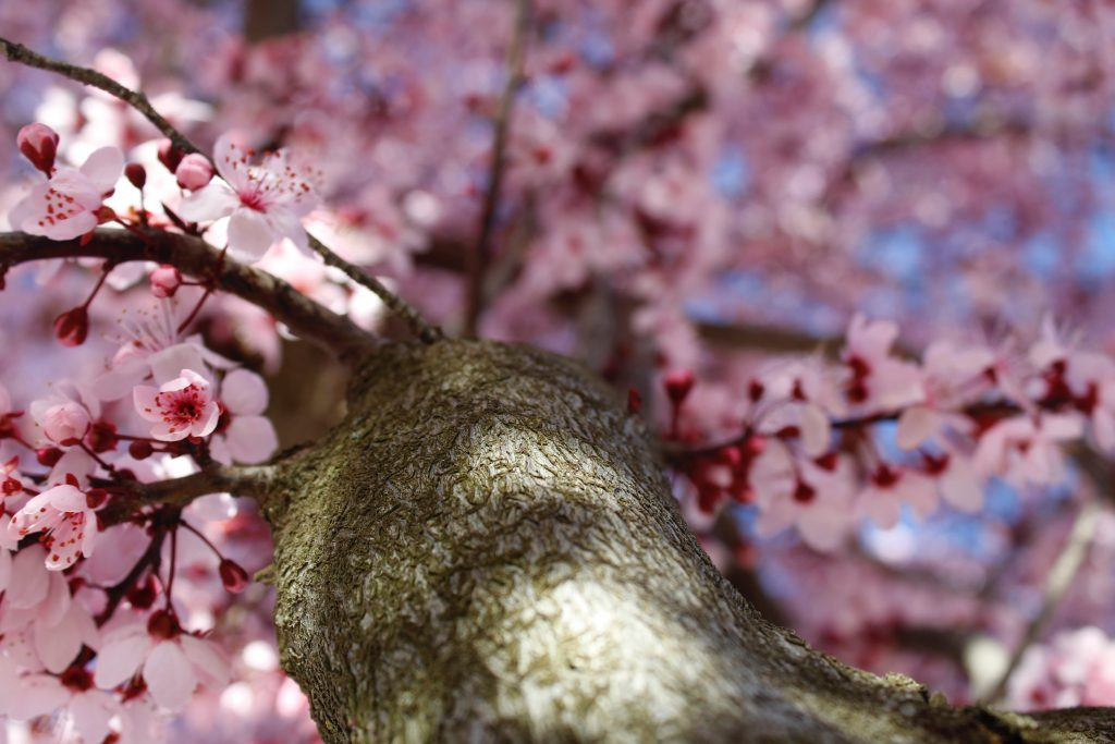 close-up-of-cherry-blossom-tree-living-in-cleveland-park-dc