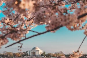 washington-dc-in-background-with-cherry-blossoms-in-foreground-on-clear-day